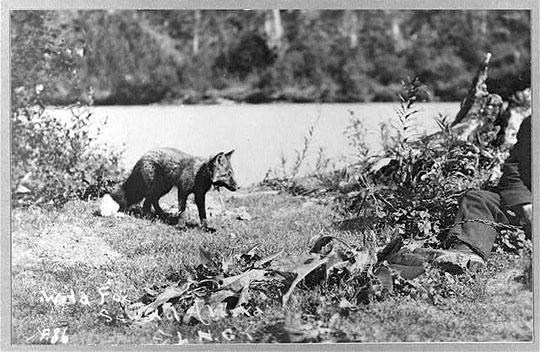 Wilder Fuchs, aufgenommen in Alaska zwischen 1900 und 1930 (Dank an Library of Congress, Wash. D. C.)
