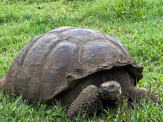 Die berühmte Galápagos-Riesenschildkröte, die den Inseln ihren Namen gaben