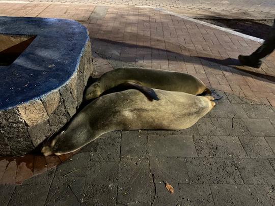 Die Galápagos-Seelöwen