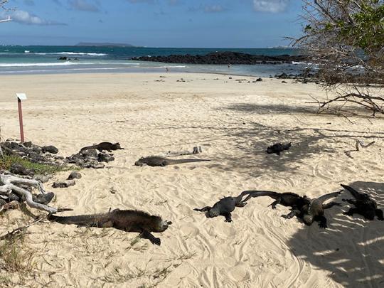 Da liegen sie träge am Strand herum. Sind aber eher Meerechsen. Den Tieren darf man sich nur auf 2 Meter nähern. Ist auch besser; ich würde 5 Meter Abstand halten.