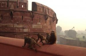 Affen an einem indischen Heiligtum, Foto: G. Braghetti